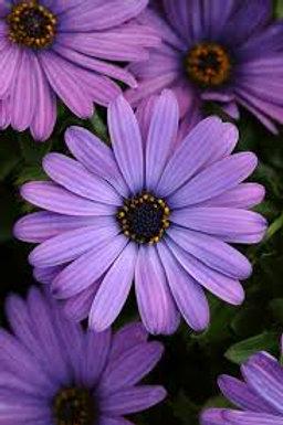 Osteospermum Daisy Denim Blue 4.5in Bench Pot