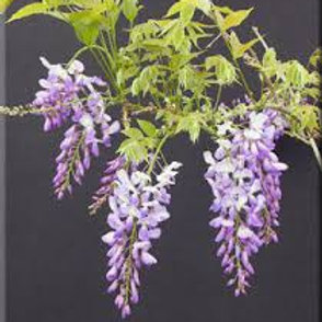 WISTERIA SOUTHERN BELLE 3G