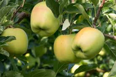 YELLOW DELICIOUS APPLE TREE 5GAL
