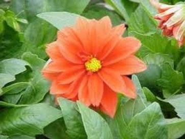 Dahlinova Carolina Orange 6.5in pot