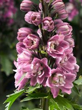 DELPHINIUM ROSE/WHITE BEE LARKSPUR