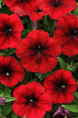 Petunia Easy Wave Red Velour 6 pack