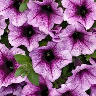 PETUNIA SUPERTUNIA BORDEAUX