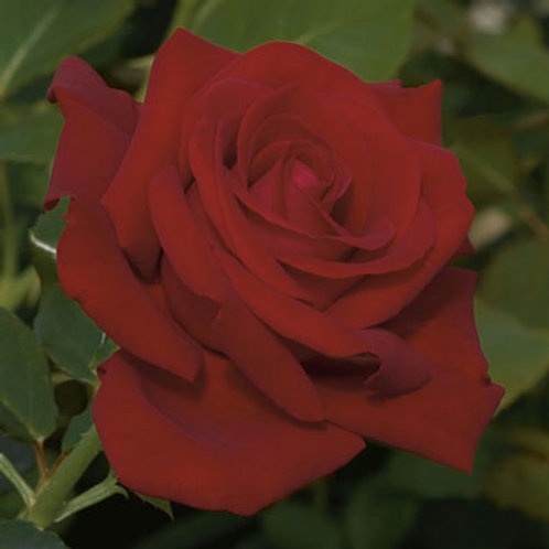 DROP DEAD RED ROSE