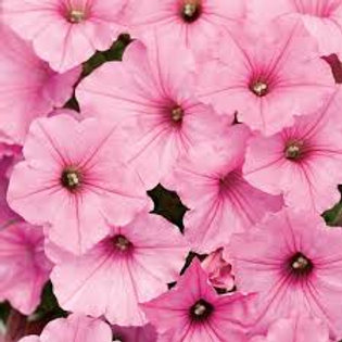 PETUNIA SUPERTUNIA VISTA BUBBLEGUM HANGING BASKET