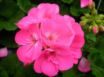 Geranium Americana Pink 4.5in Bench Pot
