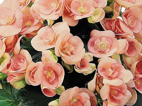 BEGONIA RIEGER NELLY HANGING BASKET