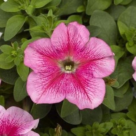 PETUNIA TRITUNIA PINK VEIN FLAT 32 PLANTS