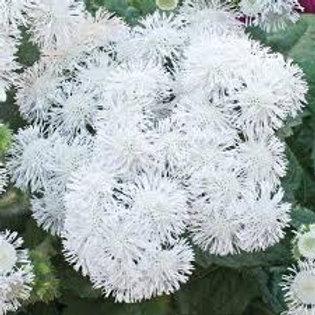 AGERATUM HIGH TIDE WHITE FLAT 48 PLANTS