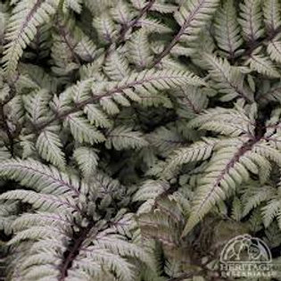 FERN ANTHYRIUM PEARLY WHITE