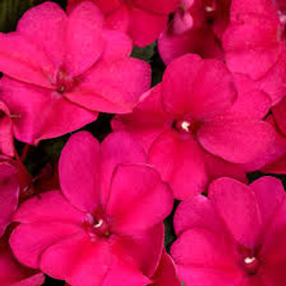 Sunpatiens Royal Magenta 4.5in Bench Pot