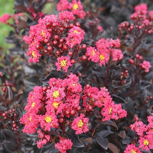 CRAPEMYRTLE CENTER STAGE PINK 1 GALLON LAGERSTROEMIA