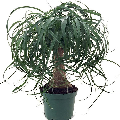 Ponytail Palm 6in