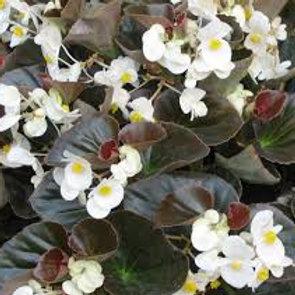 Begonia Eureka Bronze Leaf White Flat 32 plants