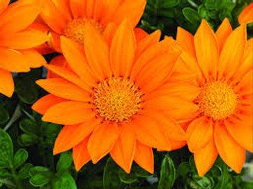 Gazania Clear Orange Flat 32 plants