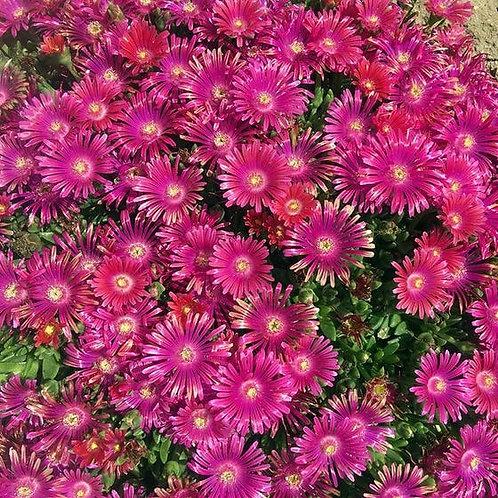 DELOSPERMA GRANITA RASPBERRY ICE PLANT