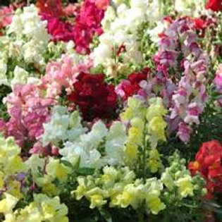 Snapdragon Snaptini Mix Flat 32 plants