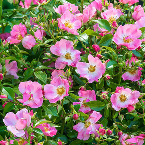PINK SNOWFLAKES ROSE