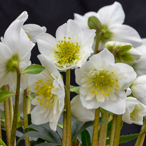 Helleborus Snowbells-lenten rose