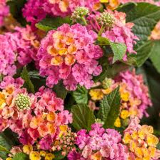 LANTANA LUSCIOUS ROYAL COSMO