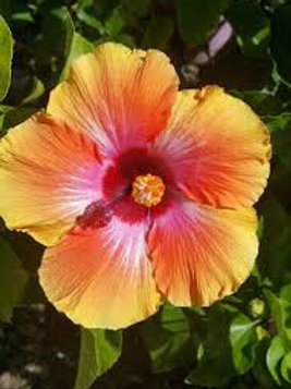 Hibiscus Bush Fiesta 3 gal