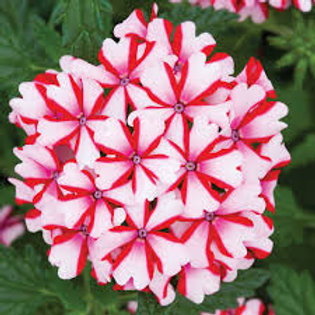 VERBENA CANDY CANE  4.5IN BENCH POT