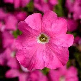Petunia Tritunia Pink Flat 32 Plants
