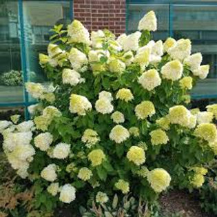 HYDRANGEA PAN LIMELIGHT 1G BUSH