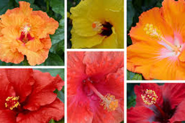 Hollywood Hibiscus Bush 10in