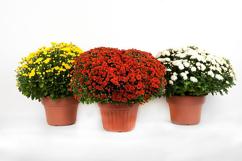 Hardy Mum (Assorted Colors)