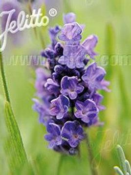 LAVANDULA ESSENCE PURPLE-english lavender