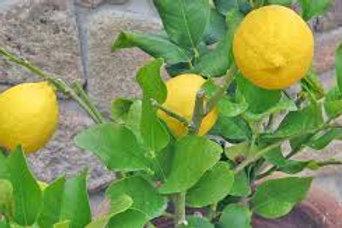 Meyer Lemon Tree 18-24in
