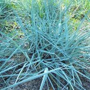 PERENNIAL GRASS LEYMUS BLUE DUNE GALLON POT
