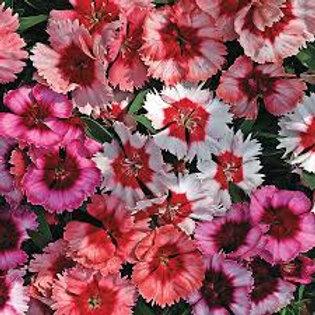 Dianthus Super Parfait Mix Flat 32 plants