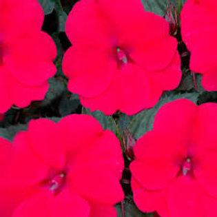 Sunpatiens Deep Rose 4.5in Bench Pot