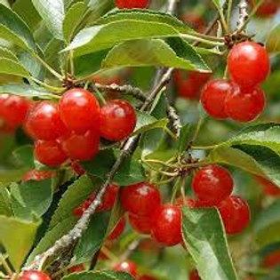 MONTMORENCY CHERRY 5G TART TREE