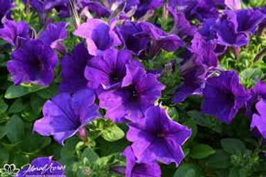 Petunia Easy Wave Blue 6 pack