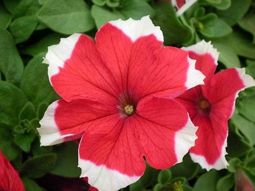 PETUNIA PICOTEE RED FLAT 32 PLANTS