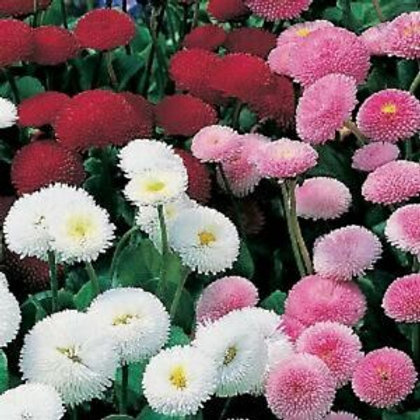 BELLIS POMPONETTE MIX ENGLISH DAISY