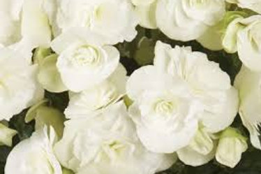 BEGONIA MOVE 2 JOY WHITE