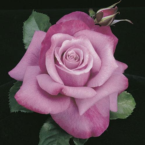 BARBARA STREISAND ROSE