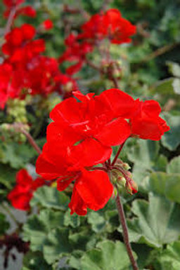 Jumbo Geranium Americana Bright Red 6.5in pot