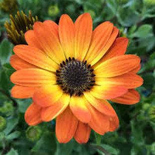 Osteospermum Daisy Orange Flame 4.5in Bench Pot