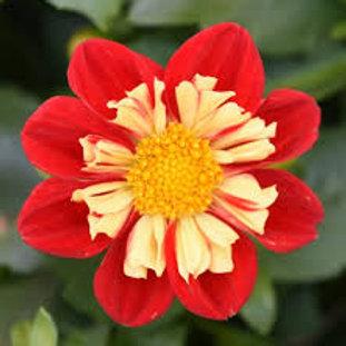 Dahlia Starsister Scarlet Yellow 6.5inch pot