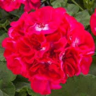 Geranium CALLIOPE HOT ROSE