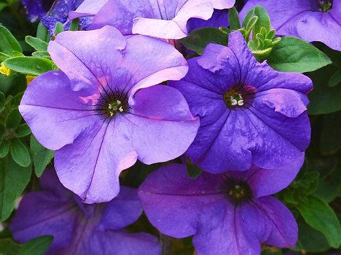 PETUNIA DREAMS SKY BLUE FLAT 32 PLANTS