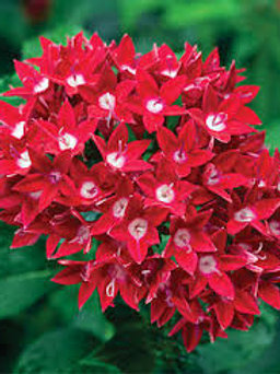PENTAS 5IN Starcluster Red