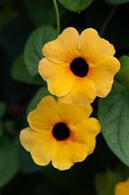 THUNBERGIA TOWERPOWER APRICOT