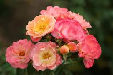 Drift Rose Coral-Groundcover rose