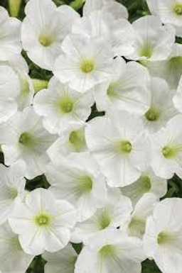 PETUNIA MINI VISTA WHITE 4.5IN BENCH POT